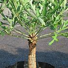 Cussonia paniculata Kohlpalme - Kohlbaum Samen