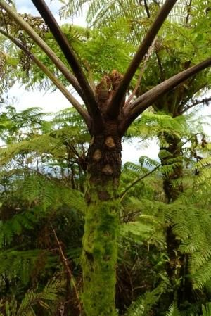 Cyathea alata Tree fern seeds