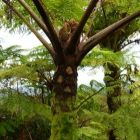 Cyathea alata Foug?re arborescente graines