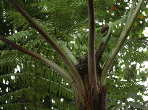Cyathea caracasana Tree fern seeds