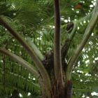 Cyathea caracasana Foug?re arborescente graines