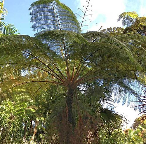 Cyathea contaminans blue tree fern seeds