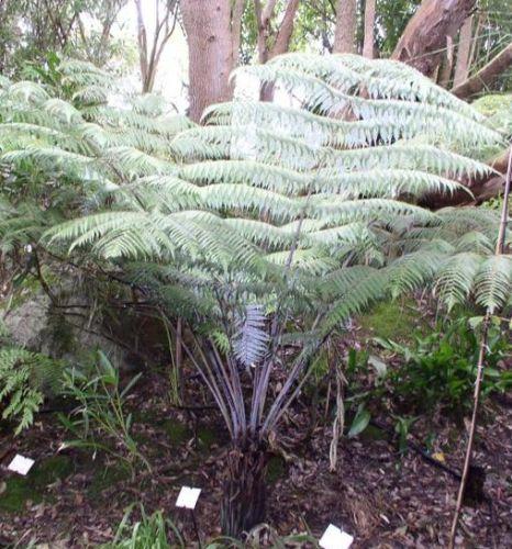 Cyathea dealbata Silver Tree Fern seeds