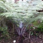 Cyathea dealbata Foug?re arborescente d argent graines