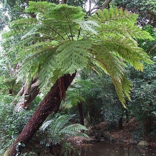 Cyathea dregei Grassland Tree Fern - common tree fern seeds