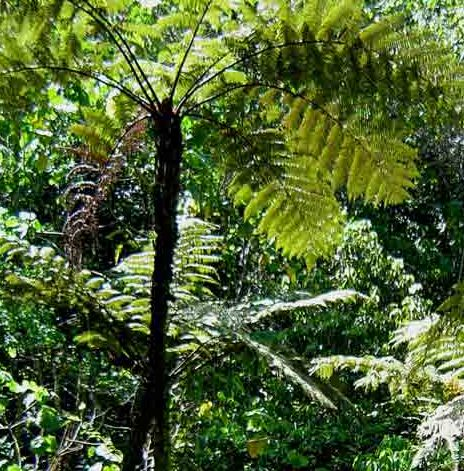 Cyathea erinacea Tree fern seeds