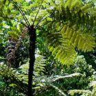 Cyathea erinacea Foug?re arborescente graines