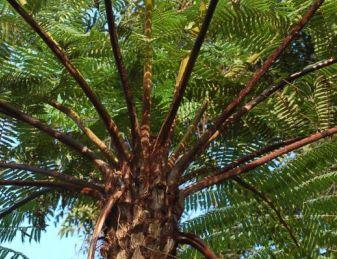 Cyathea firma Tree fern seeds