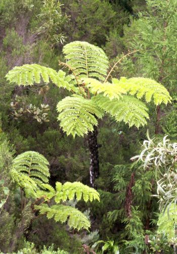 Cyathea glauca soft tree fern seeds
