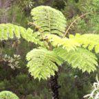 Cyathea glauca helecho ?rbol semillas