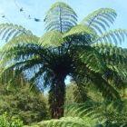 Cyathea medullaris foug?re arborescente noir graines