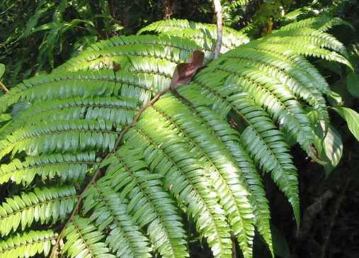 Cyathea moluccana fern seeds