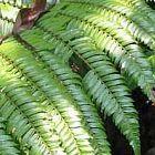 Cyathea moluccana foug?re graines