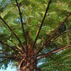 Cyathea schiedeana Foug?re arborescente graines