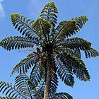Cyathea sp. Tiny Top