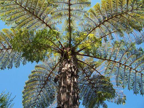 Cyathea vaupelii Tree fern seeds