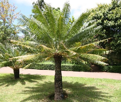 Cycas circinalis palm farn seeds