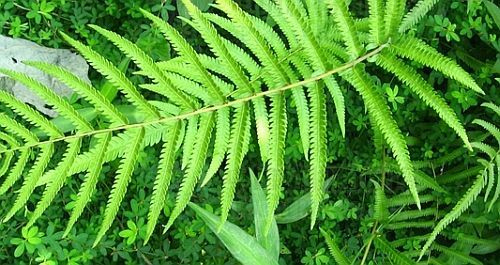 Cyclosorus aridus dry wood fern seeds