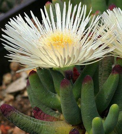 Cylindrophyllum comptonii Mesembryanthemum seeds