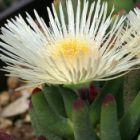 Cylindrophyllum comptonii Mesembryanthemum Samen