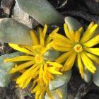 Cylindrophyllum tugwellii syn: Bijlia tugwelliae Samen