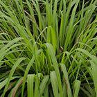 Cymbopogon winterianus Citronella - Zitronengras - indische Melisse Samen