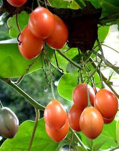 Cyphomandra betacea tree tomato - tamarillo seeds