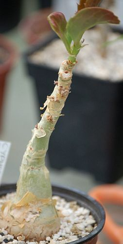 Cyphostemma lanigerum caudiciform seeds