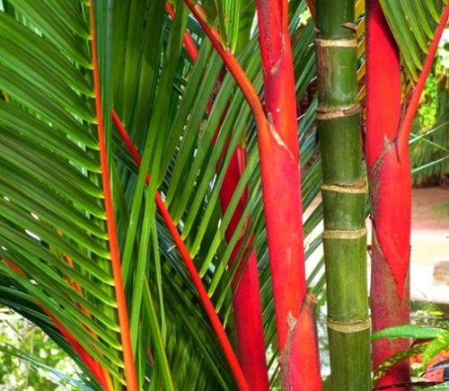 Cyrtostachys renda Red sealing wax palm – Lipstick palm seeds