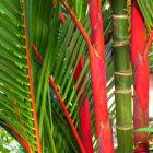 Cyrtostachys renda Palmier rouge graines