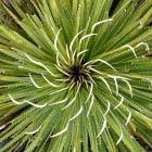 Dasylirion cedrosanum Mexikanischer Grasbaum Samen