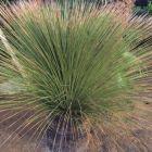 Dasylirion longisissimum Riesen-Rauhschopf Samen