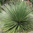 Dasylirion miquihuanense Miquihuana Rauhschopf Samen