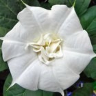 Datura Double White Lady  semillas
