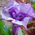 Datura purple queen double Angeli di tromba semi