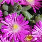 Delosperma aberdeenense Mittagsblume Samen