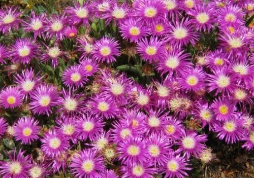 Delosperma ashtonii Ice Plant seeds