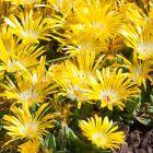 Delosperma basuticum Mittagsblumen -Mesembs - absolut winterhart Samen