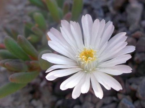 Delosperma karrooicum Ice Plant seeds