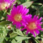 Delosperma sutherlandii winterharte Eispflanze Samen
