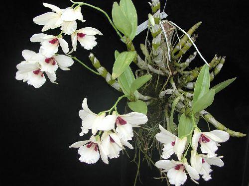 Dendrobium albosanguineum orchid seeds