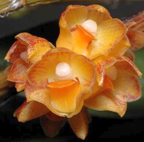 Dendrobium alterum orchids seeds