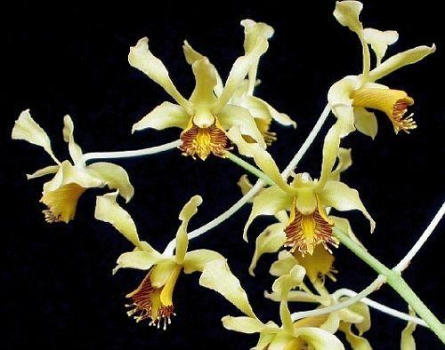 Dendrobium delacourii orchids seeds