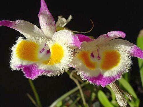 Dendrobium devonianum orchids seeds