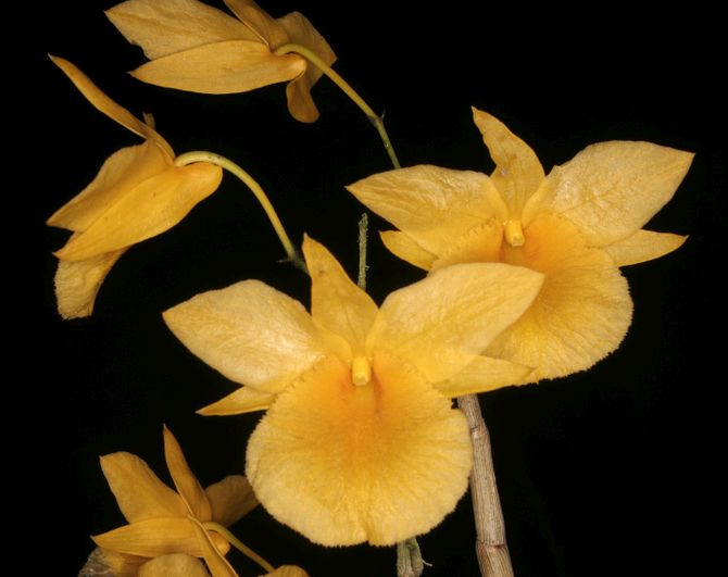 Dendrobium dixanthum orchids seeds
