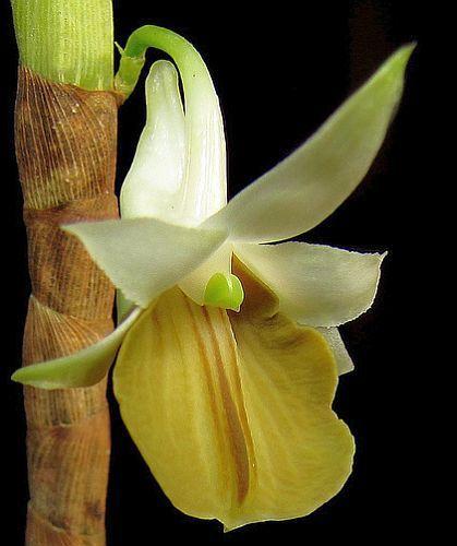 Dendrobium ellipsophyllum orchids seeds