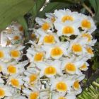 Dendrobium farmeri Farmers Dendrobium Samen