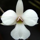 Dendrobium fytchianum  cемян