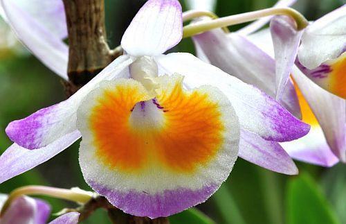 Dendrobium gratiosissimum orchids seeds