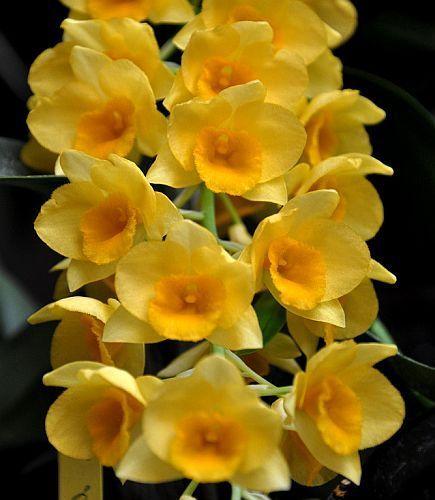 Dendrobium griffithianum orchids seeds